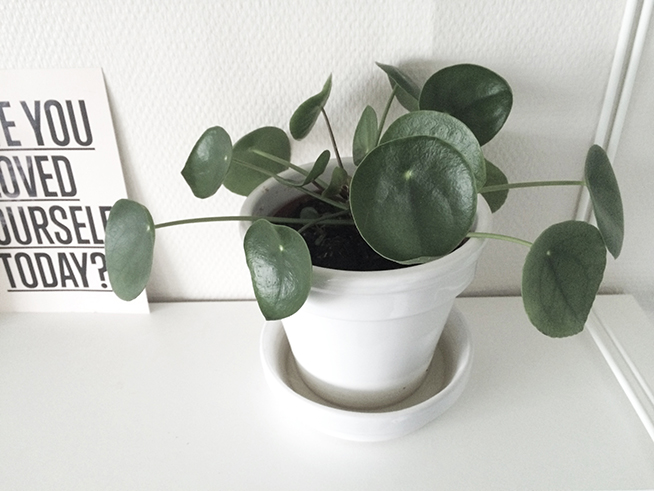 pilea_blondiemoments
